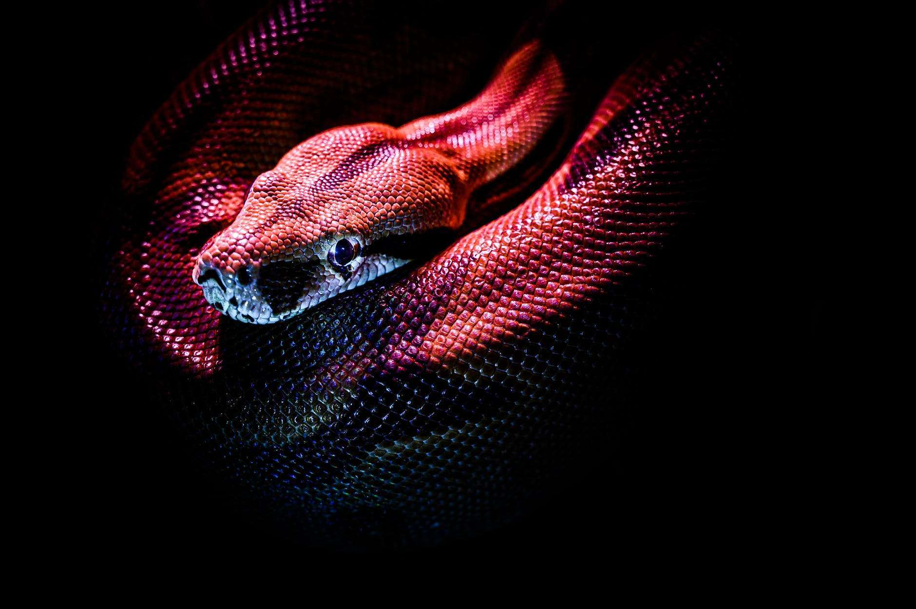 photo of a red snake